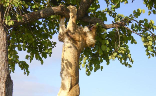 האריות אקו ואטושה (צילום: huffingtonpost.com)