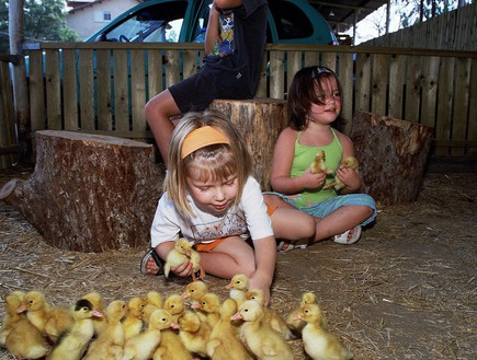 ברווזים בכפר - אלון לויטה, אירועי סוכות 2013