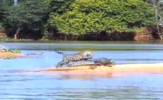 יגואר תוקף תנין (וידאו WMV: יוטיוב  ,צילום מסך youtube)