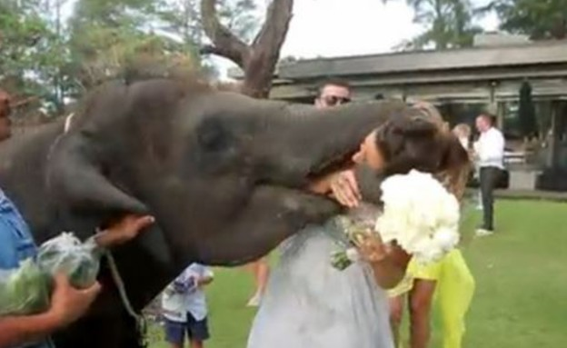 הפיל ניסה לאכול את הכלה