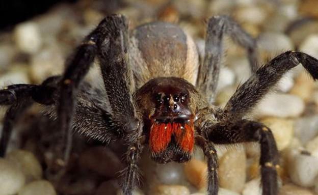 עכביש ברזילאי נודד (צילום: rex)