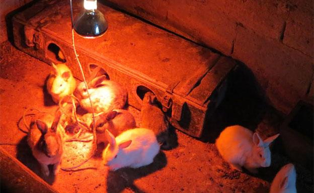 הארנבונים שנולדו מתחממים (צילום: לימור הולץ)