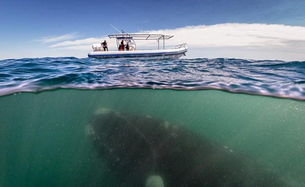 לוויתן וסירה (צילום: ג'סטין הופמן)