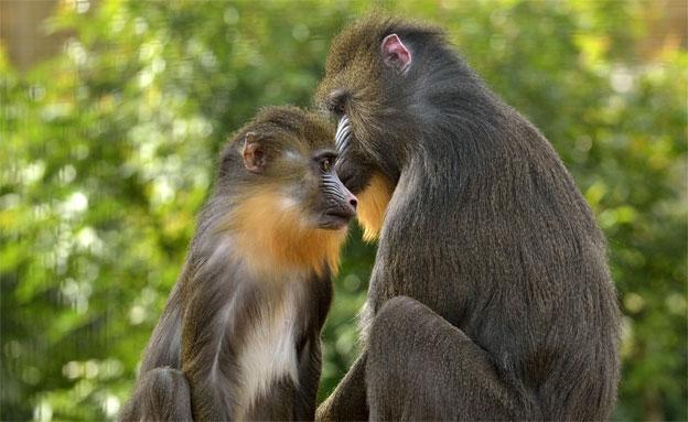 גם הקופים חיכו למתנות החג (צילום: טיבור יגר)