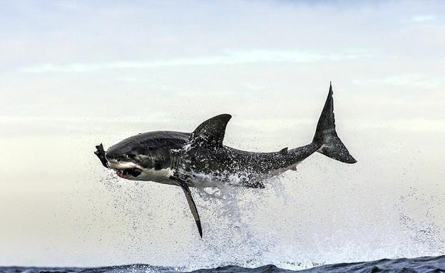 כריש טורף כלב ים (צילום: dailymail.co.uk)