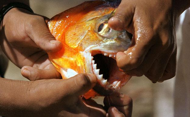 מתקפת דגי פיראנה (צילום: רויטרס)
