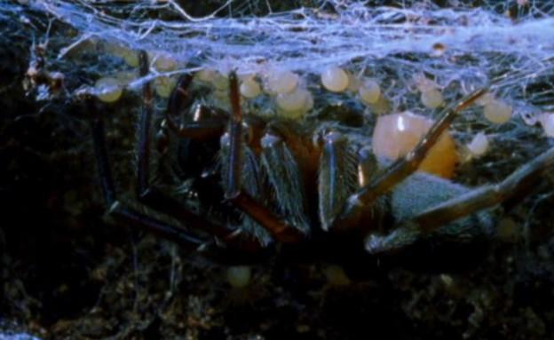 עכבישים אוכלים את אמם (צילום: צילום מסך מתוך youtube)