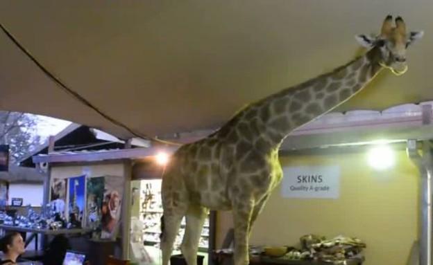 ג'ירפה במסעדה (צילום: יוטיוב )