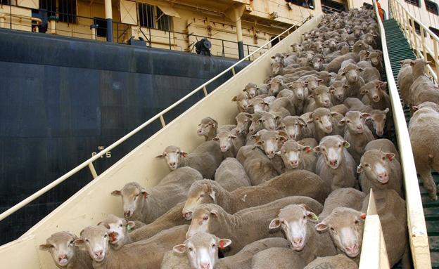 משלמות בחייהן על ליקויי בטיחות. כבשים על הסיפון (צילום: AP)