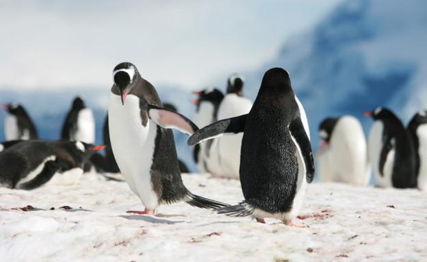 פינגווינים גאים (צילום: shutterstock)