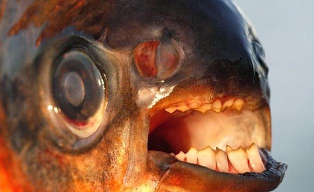 דג עם שיני אדם (צילום: viralnova.com)