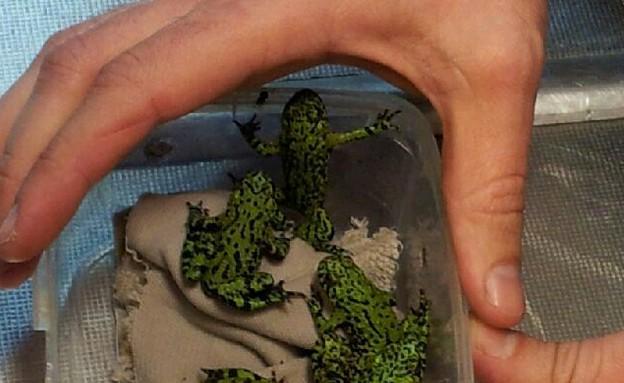 הברחת צפרדעים (צילום: רשות המסים)