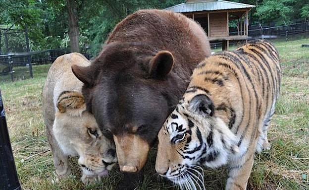 נמר דב ואריה (צילום: מקלט החיות 'תיבת נח')