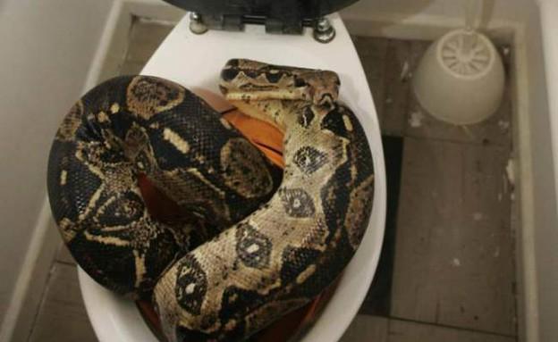 נחש בשירותים (צילום: Phil Noble)