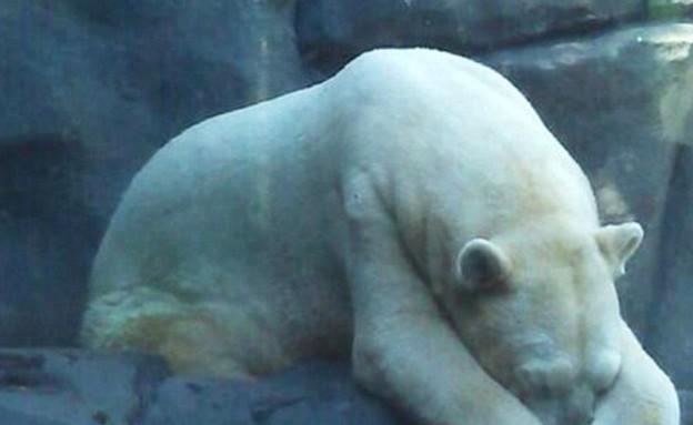 הדב העצוב בעולם (צילום: dailymail.co.uk)