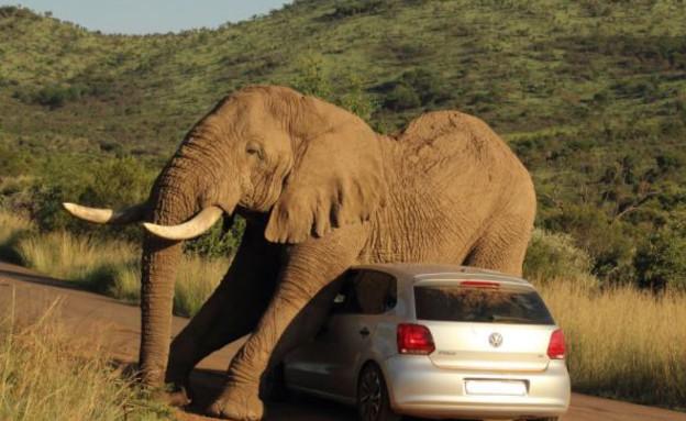 פיל מוחץ מכונית (צילום: Barcroft)