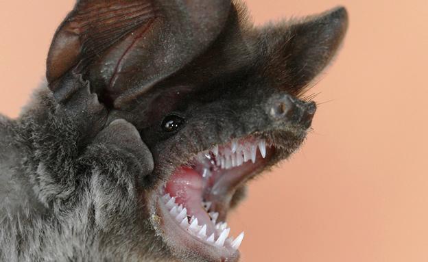 חזרו לסביבתם הטבעית. העטלפים (צילום: עזרא חדד)