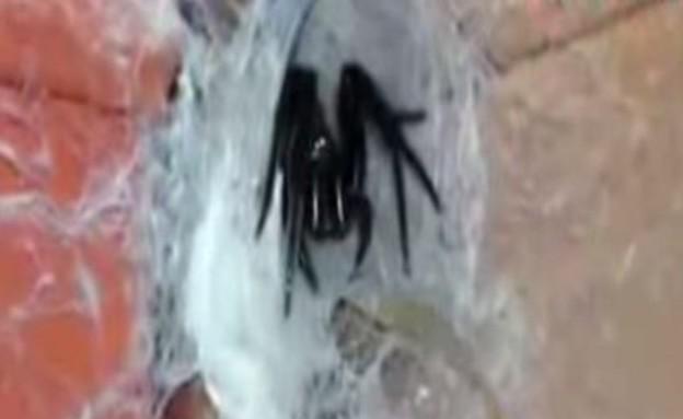 עכביש ענק (צילום: יוטיוב)