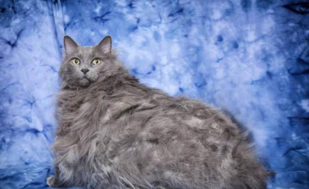 חתול שמן (צילום: Barcroft USA)