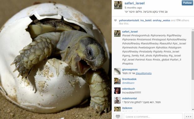 """""""צב סודני בוקע מביצה"""" מתוך האינסטגרם של הספארי (צילום: צילום מסך ,אינסטגרם/צילום מסך)"""