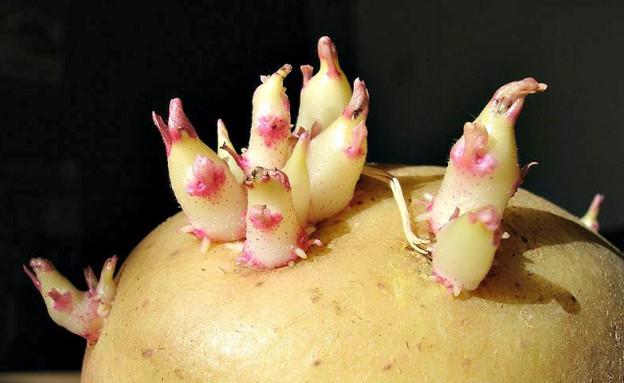 תפוח אדמה שורשים (צילום: breitbart.com)