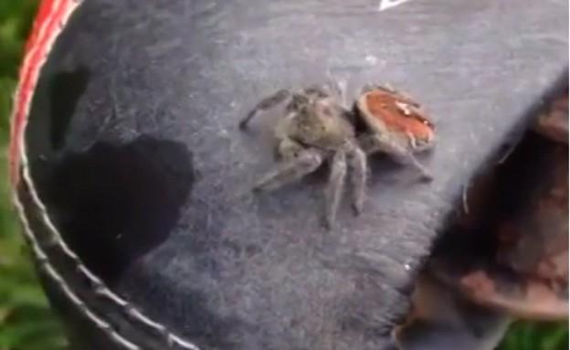 עכביש על הואפניים (צילום: יוטיוב )