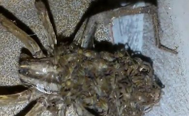 עכבישה ענקית (צילום: יוטיוב)