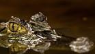 קוסטה ריקה, תנין (צילום: רועי גליץ)