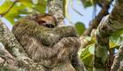 קוסטה ריקה, קוף על עץ (צילום: רועי גליץ)