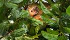 קוסטה ריקה, קופים גובה (צילום: רועי גליץ)