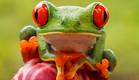 קוסטה ריקה, צפרדע (צילום: רועי גליץ)