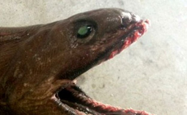 כריש פרהיסטורי (צילום: SEFTIA)