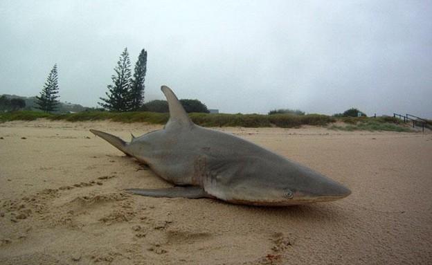 כריש נסחף (צילום: אנדי לטו)