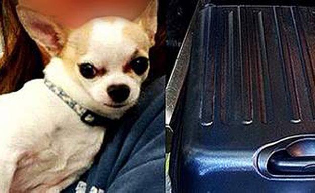 כלב הצ'יוואווה לאחר שחולץ מהתיק