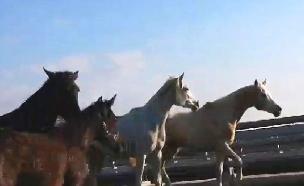 צפו: עדר של סוסים - ברחבי תל אביב (צילום: מזל אלט)