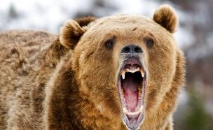 דוב (צילום: אימג'בנק / Thinkstock)
