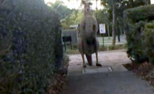 קנגורו מפחיד (צילום: channel 7 news)