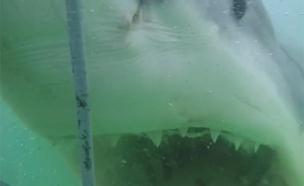 תיעוד: הכריש המאיים בפעולה (צילום: יוטיוב)