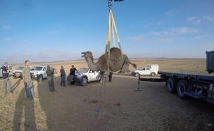 צפו: פינוי גמלים משוטטים בדרום (צילום: חטיבת דובר המשטרה)