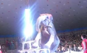 פיל נפל (צילום: יוטיוב)