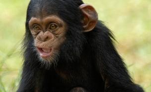 השימפנזה אלון (צילום: ספארי רמת גן)