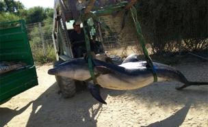 """הטיפול בדולפין הפצוע (צילום: ד״ר עוז גופמן, מחמל""""י)"""
