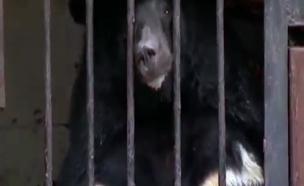 אחד הדובים הלכודים כתוצאה מהשיטפונות (צילום: sky news)