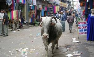 החיה נחשבת קדושה להינדים (צילום: נטע יערי)
