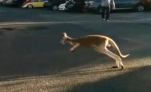 צפו: קנגורו מקפץ ברחובות ניו יורק