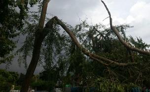 עץ קרס (צילום: חדשות 2)