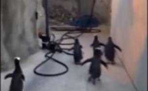 פינגווינים בורחים (צילום: יוטיוב)