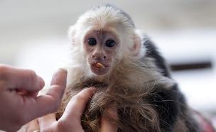 הקוף של ג'סטין (צילום: צילום מסך ,מעריב לנוער)