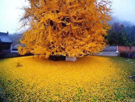 שלכת זהב בסין (צילום: עומר ברק)