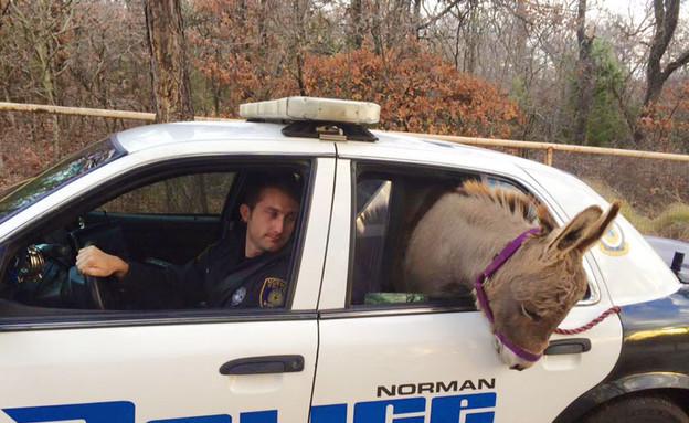חמור בניידת (צילום: Norman Police Dept)